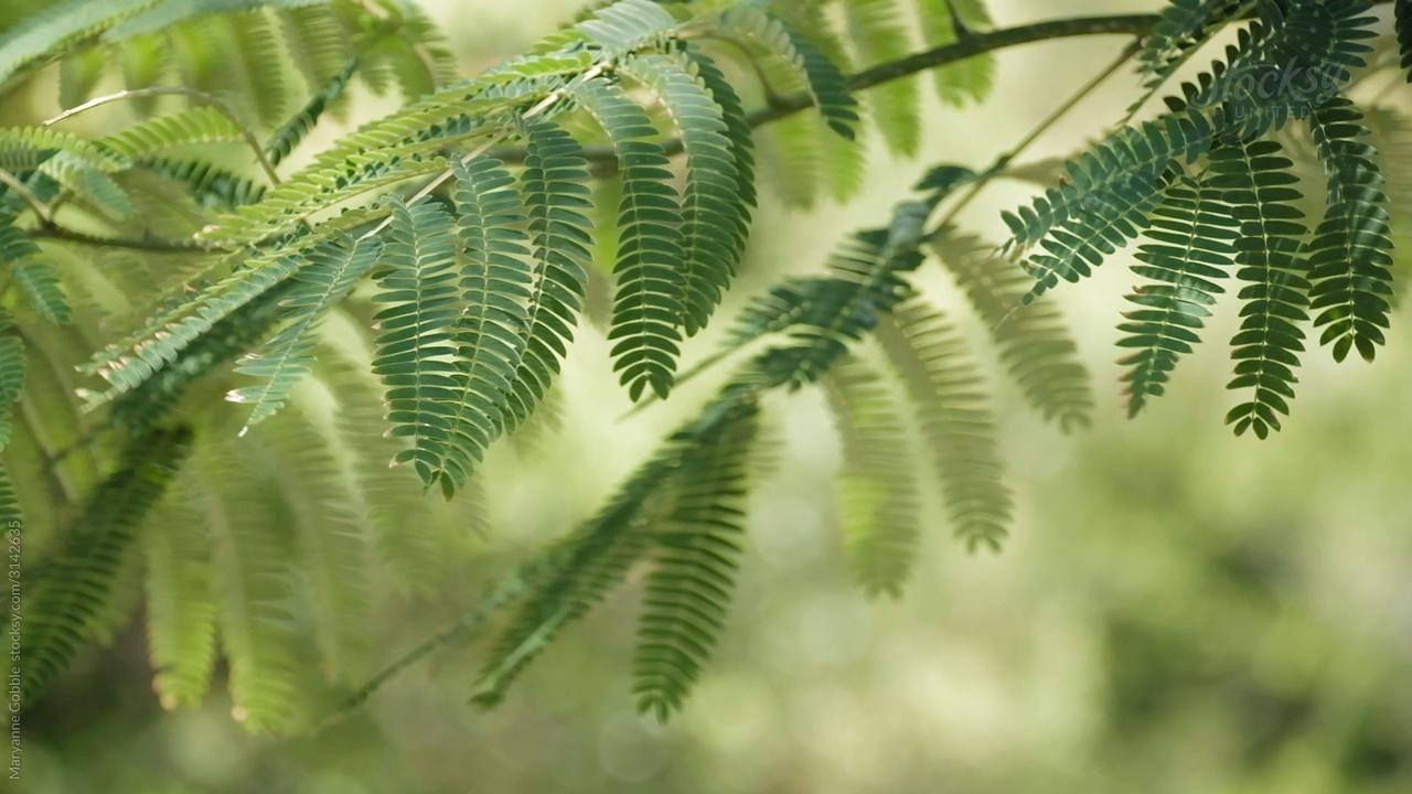 Silk Tree Stock Video