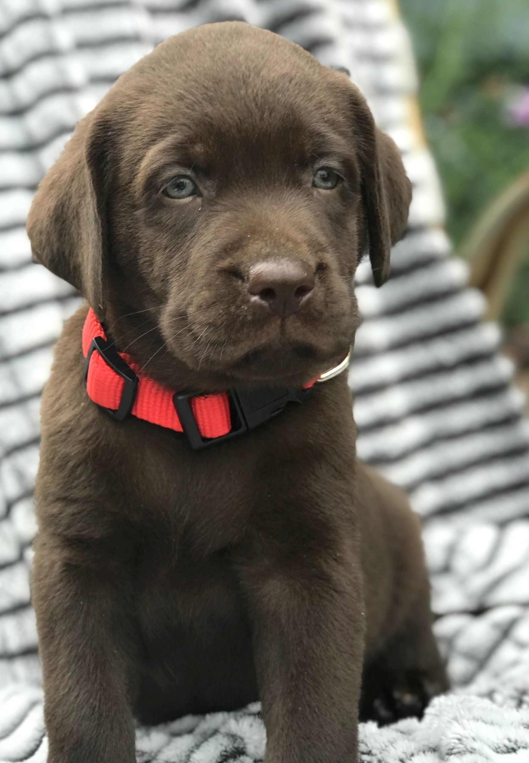Country male chocolate lab labrador retriever puppy in