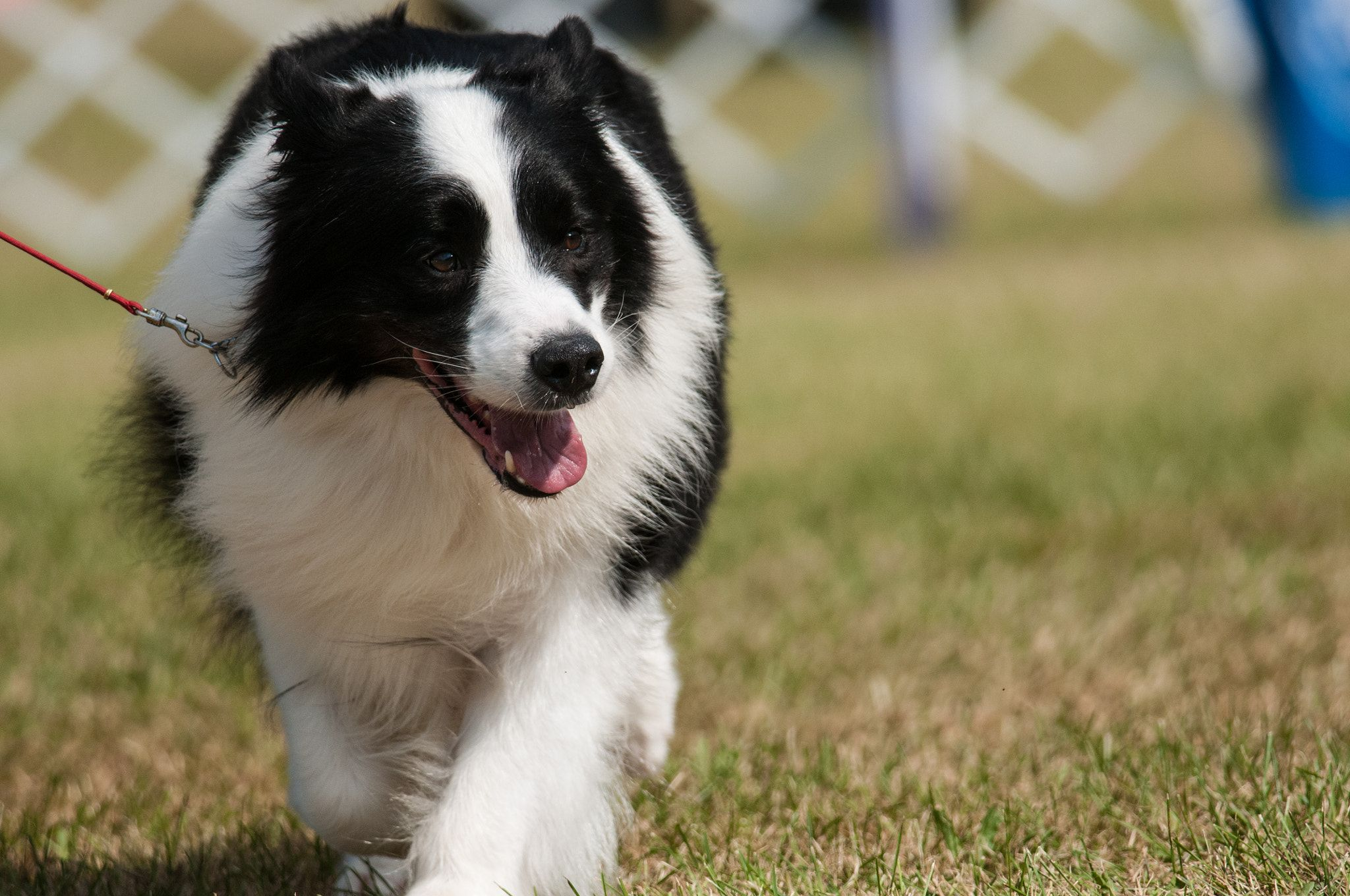Border Collie Border Collie Showing At The Hickories Circuit Dog