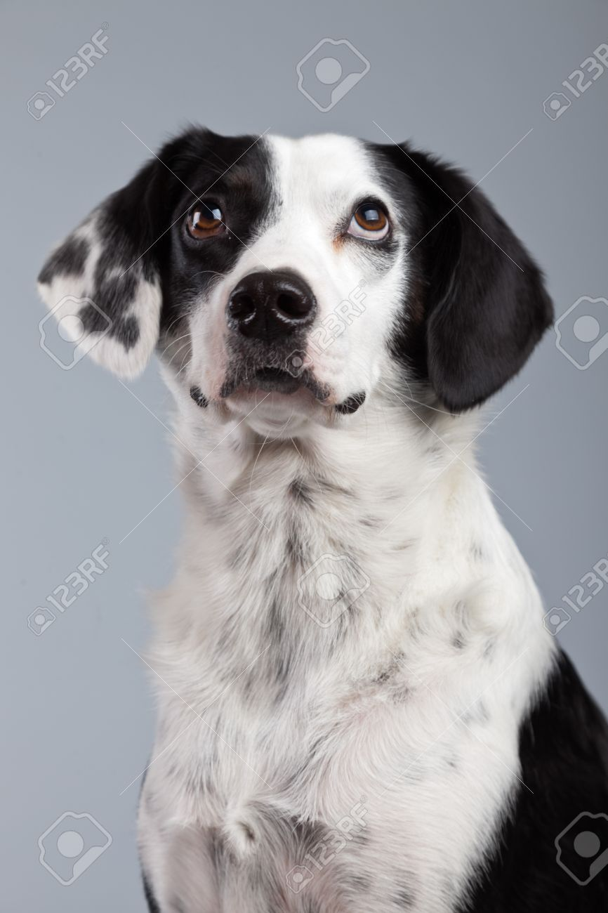 Mixed Breed Black And White Spotted Dog Isolated Against Grey Mixed Breed Dogs Spotted Dog