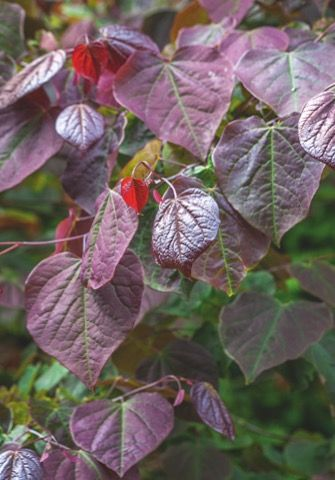 Cercis canadensis forest pansy small ornamental tree with deep small ornamental tree with deep pink flowers in spring and purple heart shaped leaves in summer mightylinksfo