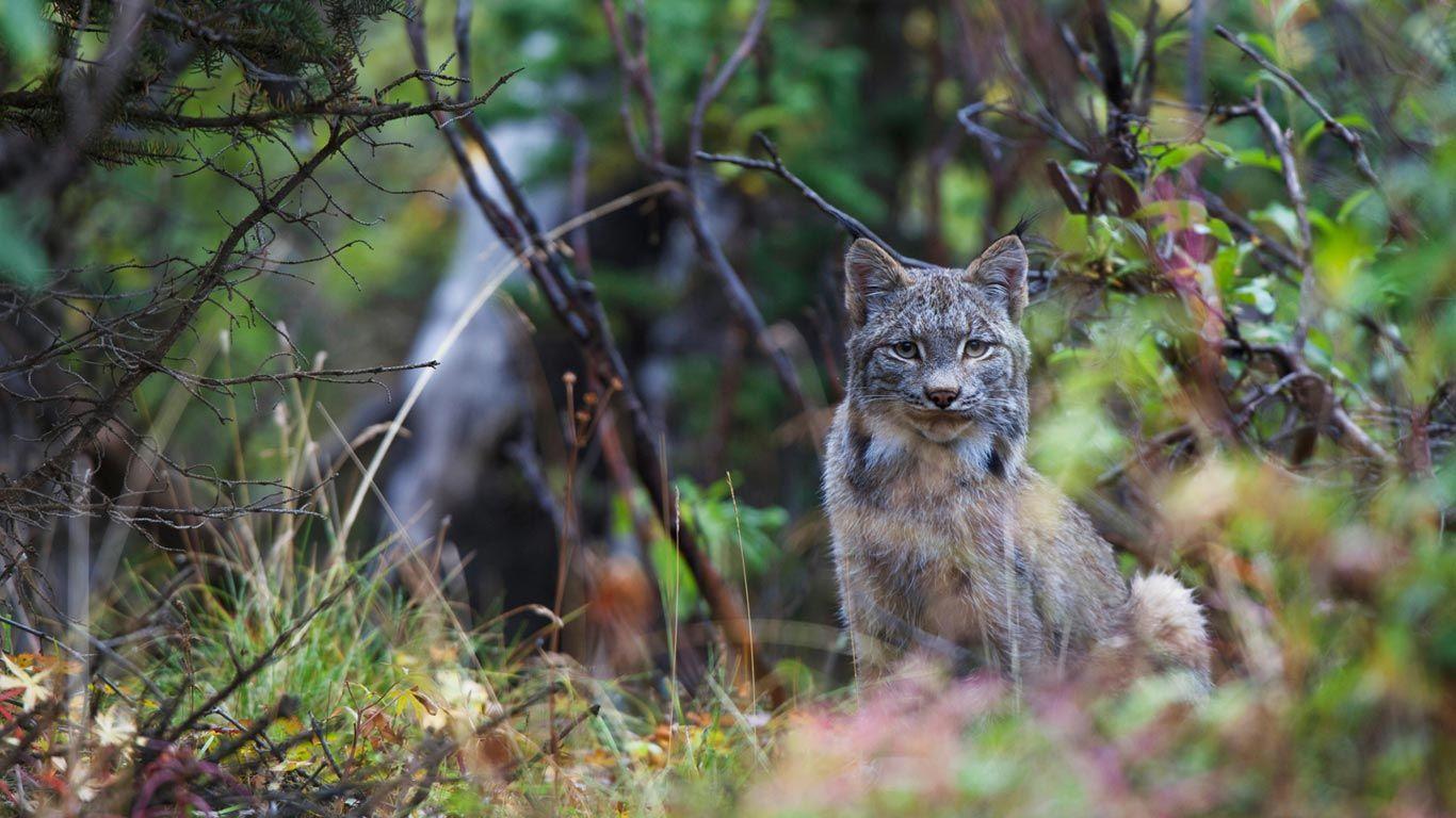 Canada lynx in Denali National Park, Alaska (© Design Pics