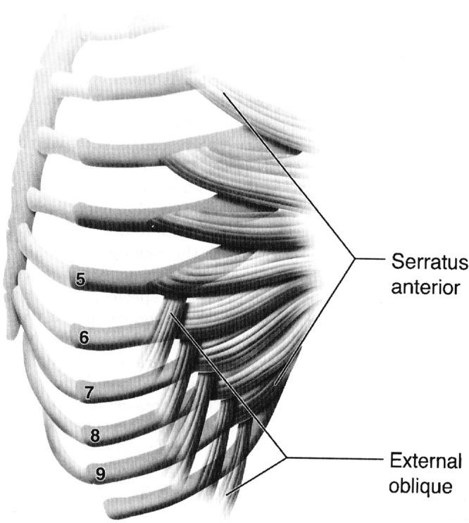 Obliques Anatomy
