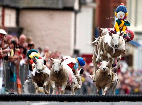 Sheep Racing in Scotland Animal pictures, Moffat, Sheep