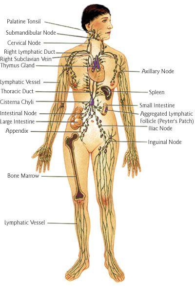 Lymphatic Drainage Massage Lymphatic Drainage Massage Lymphatic System Lymphatic Massage