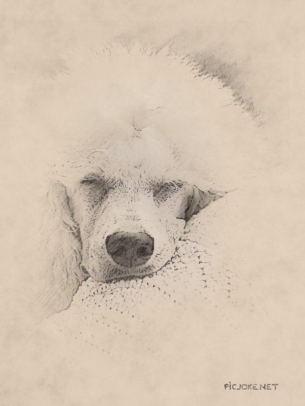 Standard Poodle Puppy Sleeping Poodle Drawing Poodle Puppy