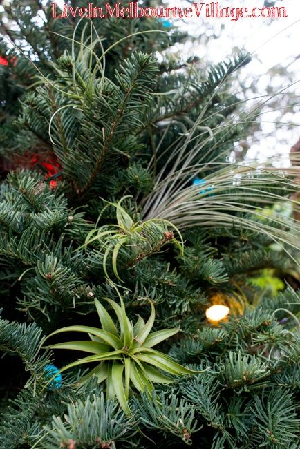 Another Fantastic Use For Air Plants A Living Christmas Tree Decoration Www Liveinmelbournevillage Com Air Plants Christmas Tree Decorations Plants