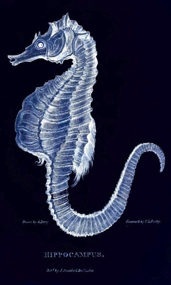 Hippocampus (Seahorse) : Circa 1771 ; Blueprint Negative