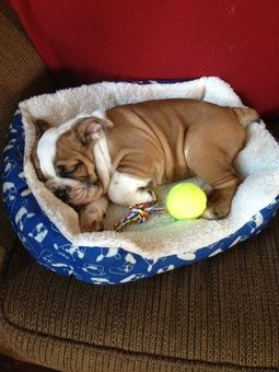 Bulldog Puppy Sleeping Soundly With Images Bulldog Puppies