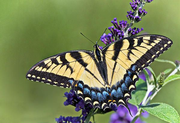 Eastern Tiger Swallowtail By Marcia Colelli Butterfly Coloring