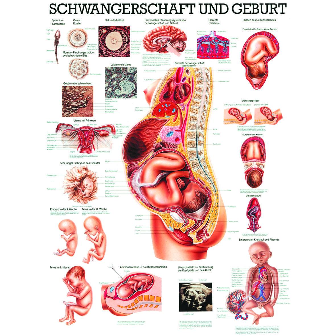 """Anatomische Lehrtafel \""""Schwangerschaft und Geburt\"""""""