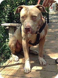 Pin On Bully Breeds