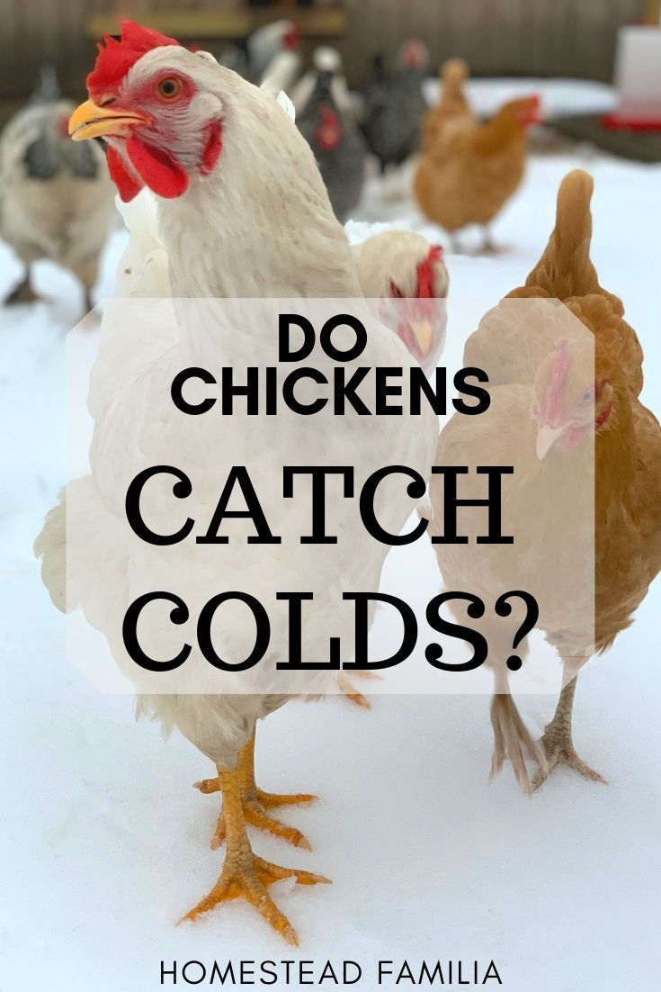 Can a cold affect your chickens? Can chickens catch the ...