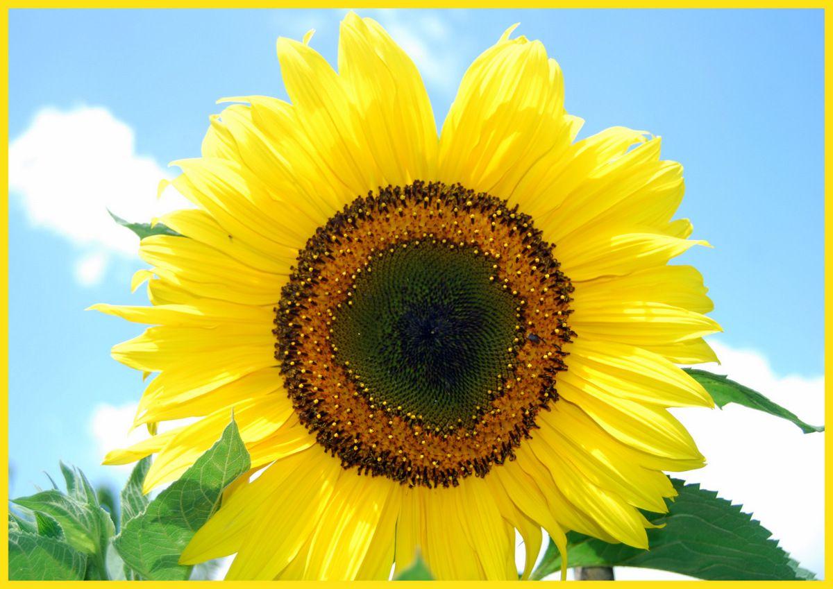 sunflower www.facebook.com/DerGruneDaumenTheGreenThumb?fref=ts