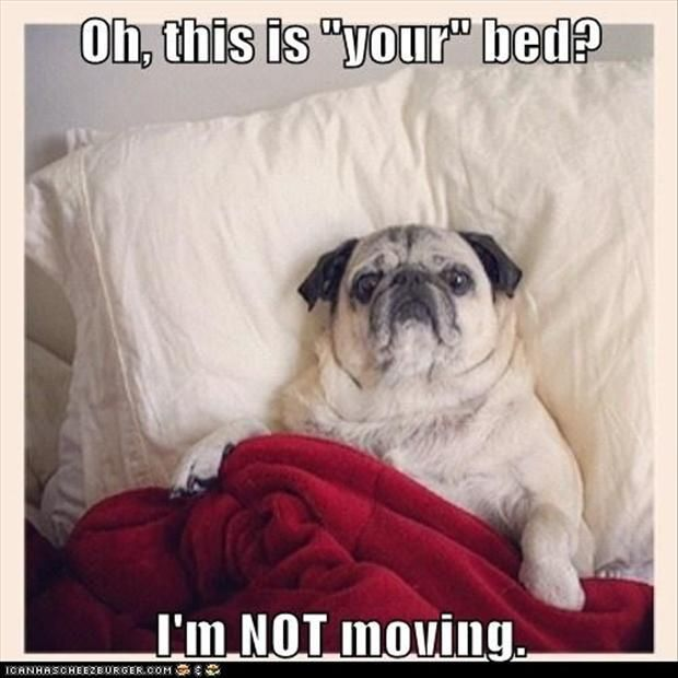 29 Guaranteed Ways To Make Your Pet Happy Pugs Funny Pugs Dog Meme Jokes
