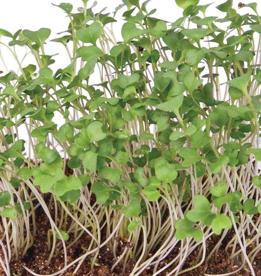 How to Grow Microgreens Indoors Microgreens, Growing