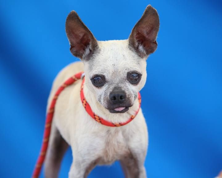 URGENT- LOVELY SENIOR LOOKING FOR A LOVIN HOME! A4959081 Felicity is a delightful eight year old fawn  female Chihuahua who was found  on June 9th and brought to the Baldwin Park Shelter. She is a well-socialized girl with a pleasing disposition. Good with other small dogs, people are her main interest and she delights in placing herself in her lap and both giving and receiving affection…