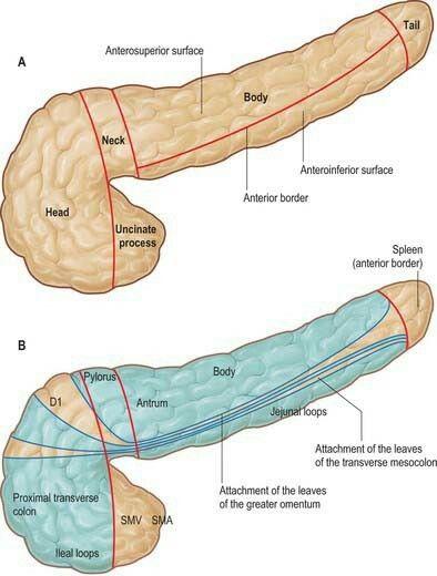 Pancreatic relations uncinate process hooks posteriorly to ... Uncinate Process Pancreas Anatomy