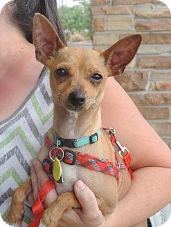 Hurricane Ut Miniature Pinscher Chihuahua Mix Meet Goldie A