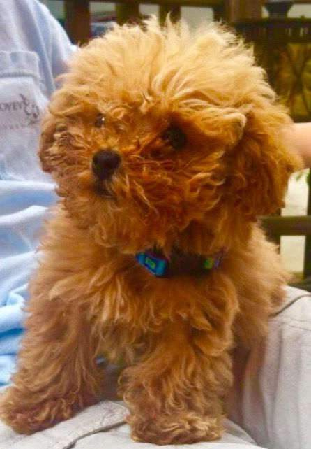 Our Puppy Doc At 12 Weeks Old Doc A Doodle Is A Poodle Cutestpuppyever Redpoodles Tinytoypoodle Doc Red Poodle Puppy Red Poodles Poodle Puppy