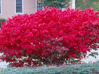 Burning Bush At Brighter Blooms Nursery Colorful Shrubs Burning Bush Plants