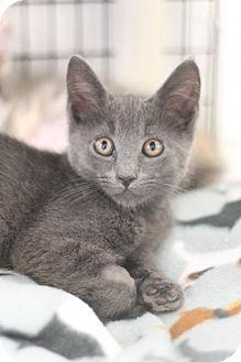 Lawrenceville Nj Domestic Shorthair Meet Moses A Kitten For Adoption Kitten Adoption Pets Kitten