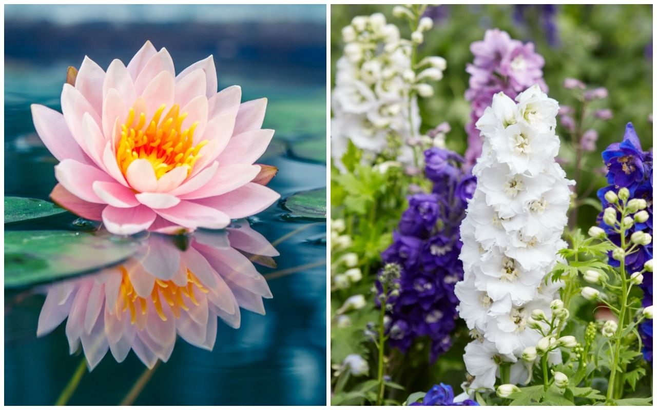 Birth Month Flowers Water Lily Larkspur July Birth Month Flowers Month Flowers Birth Flowers