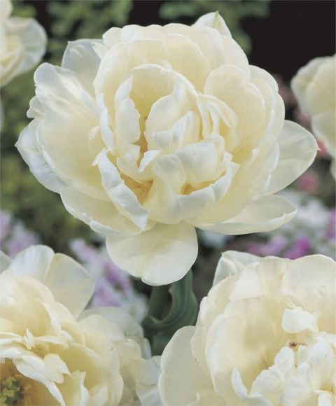"""Tulip Mount Tacoma  A fully double, glistening white, this 1924 award-winner has subtle green markings on its petals. Fragrant. Bulb size: 12 cm/up. Late April. 20"""". HZ: 3-7."""
