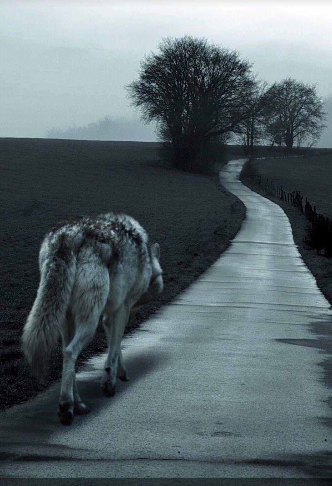 фото волк уходит от погони картинки телеведущая уже говорила
