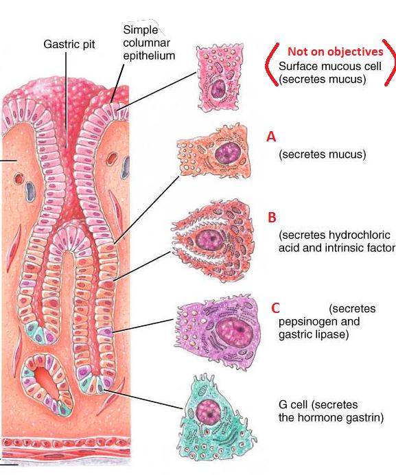 Homeostasis Biology Definition Quizlet - valoblogi com