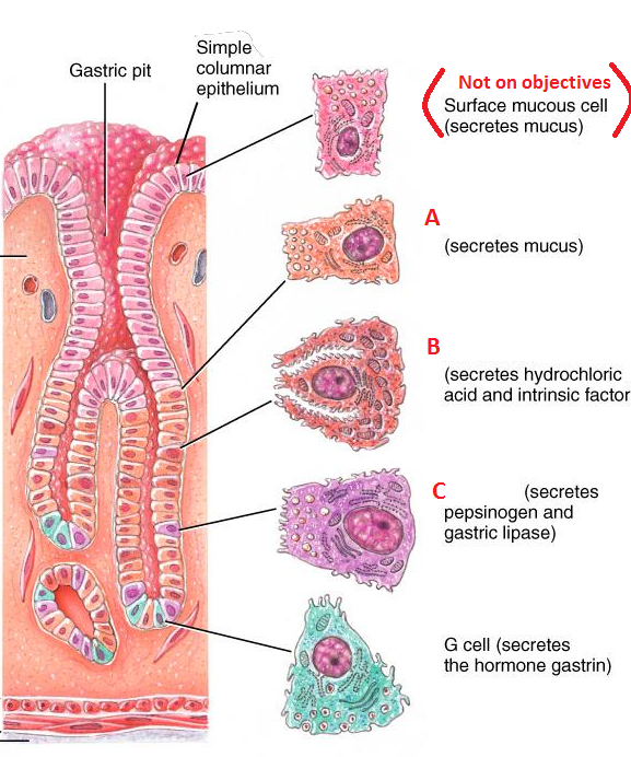 Learning Digestive Histology