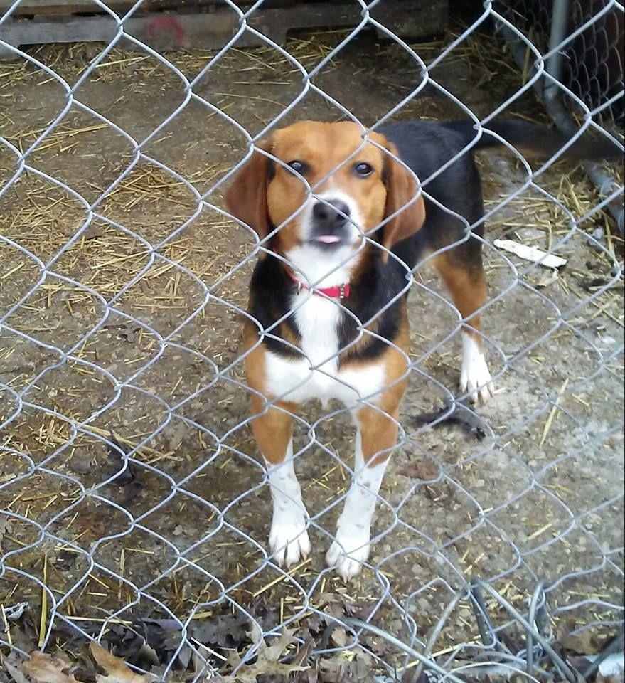 Beagle Dog For Adoption In Cincinnati Oh Adn 464797 On