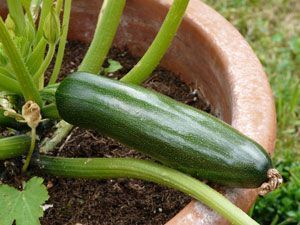 Grow the zucchini on the balcony or terrace and harvest freshly  garten  693835886326315314