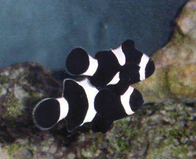 Clownfish Clown Fish Salt Water Fish Pretty Fish