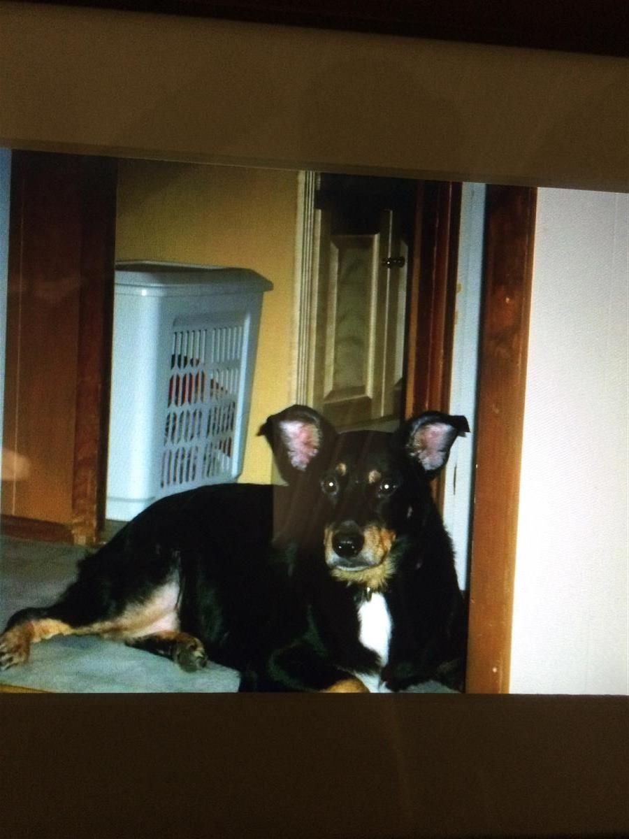 Lost Dog Rottweiler Leesburg Fl United States 34748 Losing
