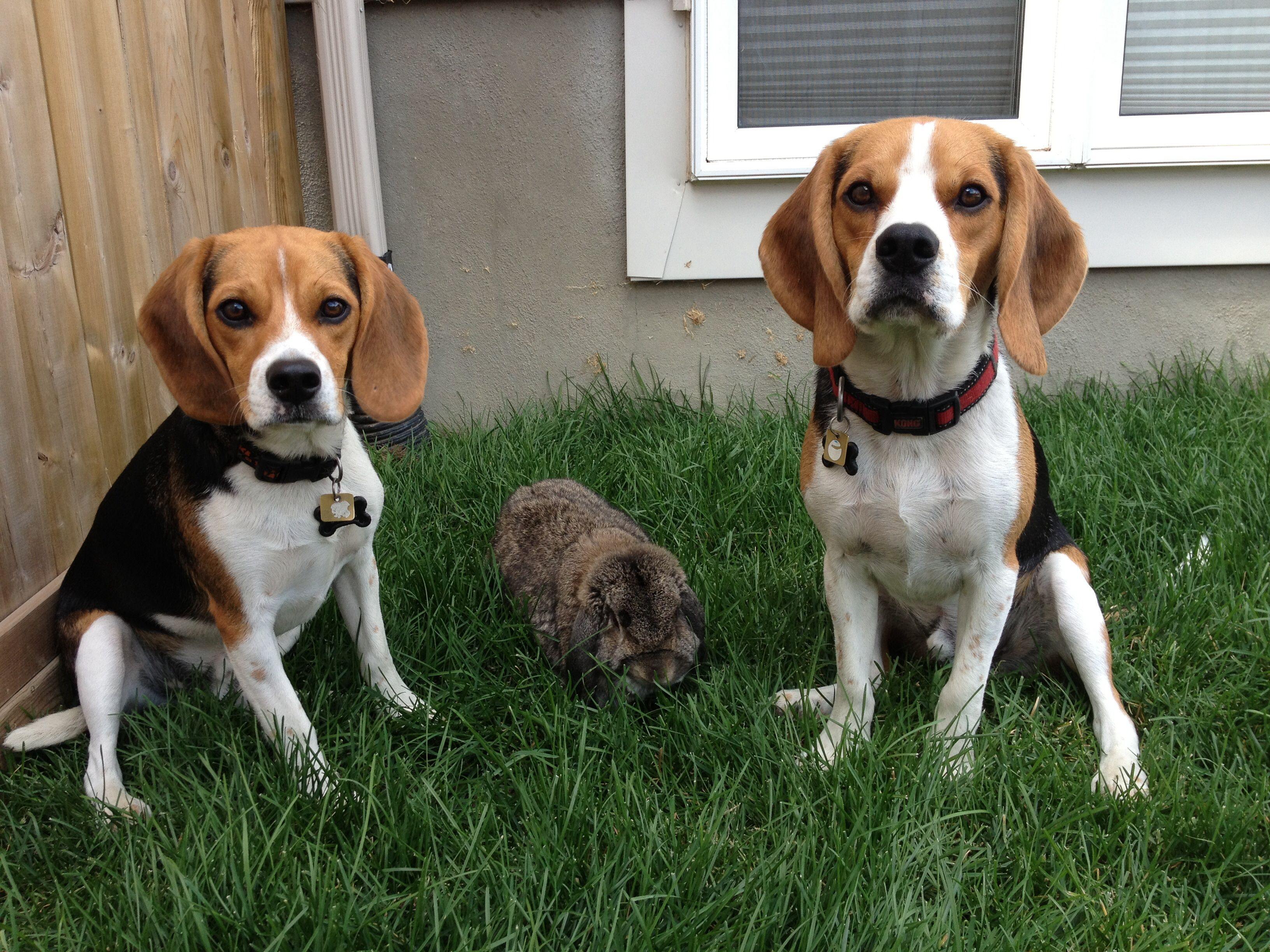 Two Beagles And A Bunny Beagle Dog Pictures I Love Dogs