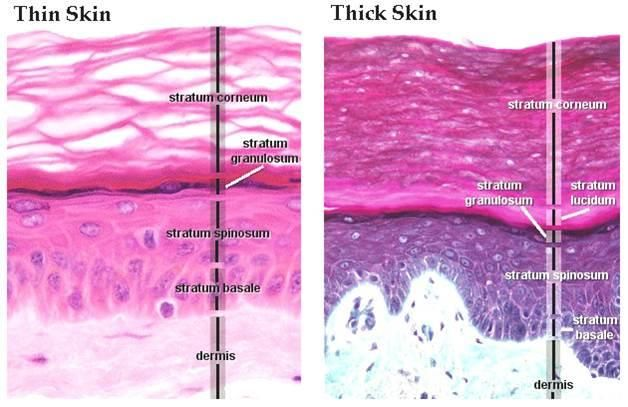 The Stratum Granulosum Or Granular Layer Is A Thin Layer Of Cells