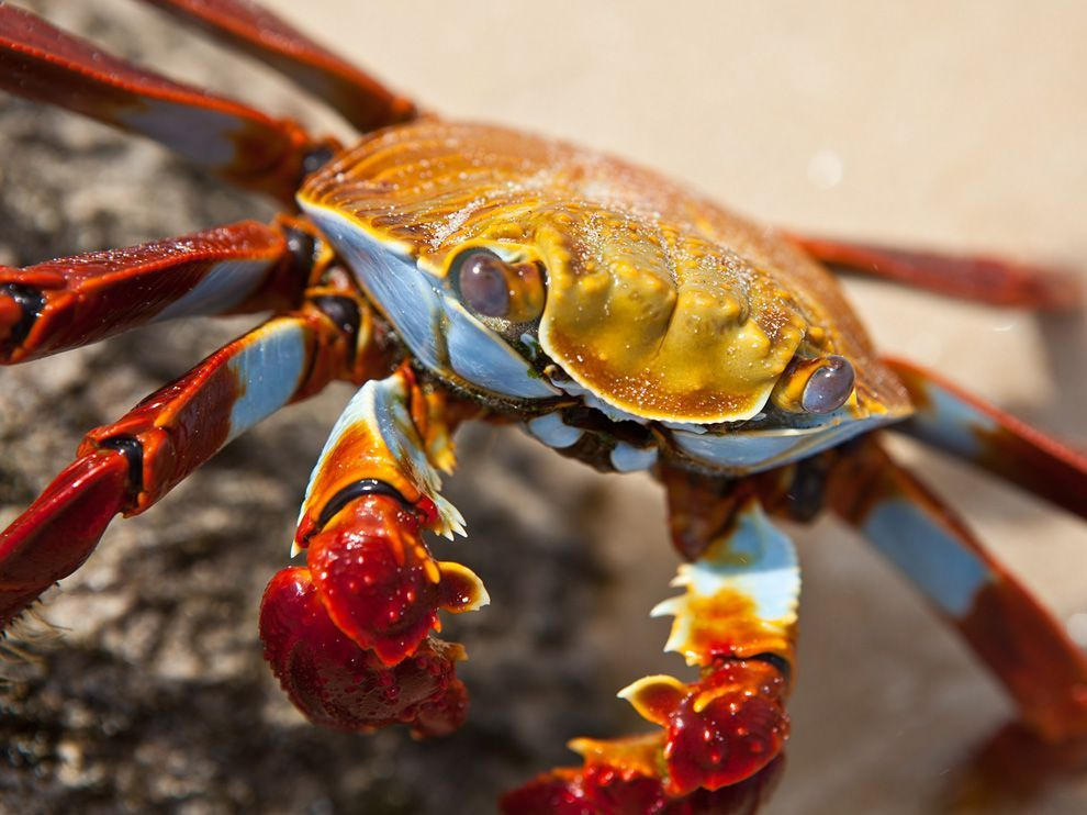 national geographic crab photos   National Geographic Wallpapers - Sally Lightfoot Crab, Galápagos ...