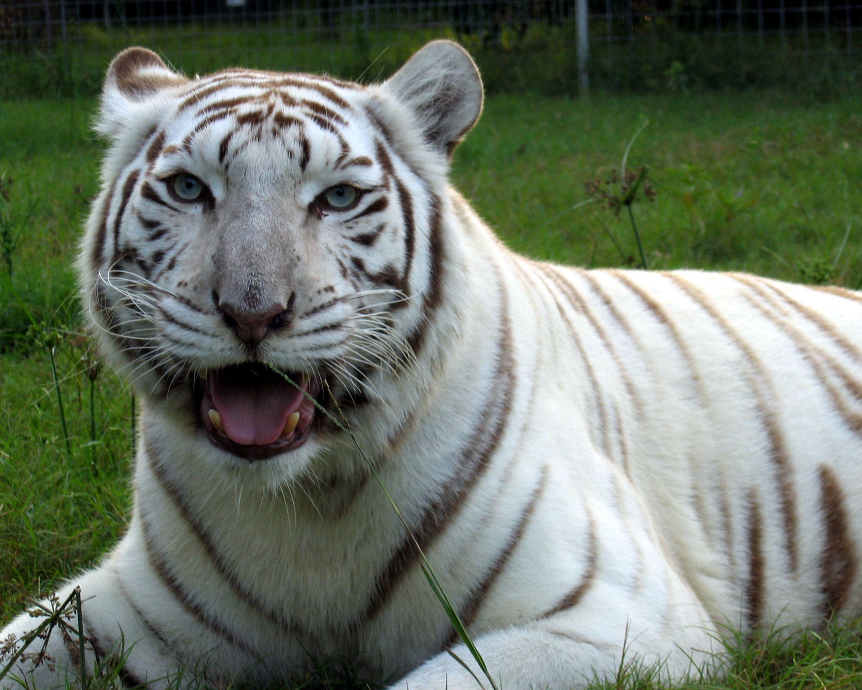 Future Pet Big cat rescue, Big cats, Wild cats