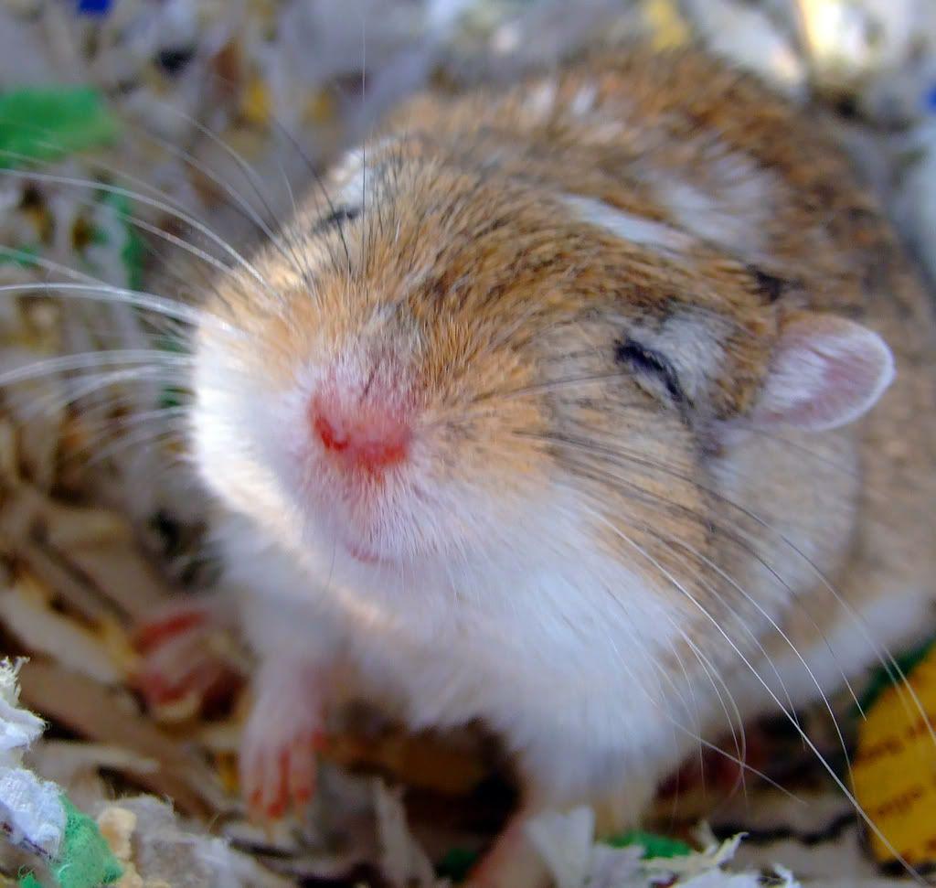 Gerbil Smiling Gerbil Cute Animals Cute Hamsters