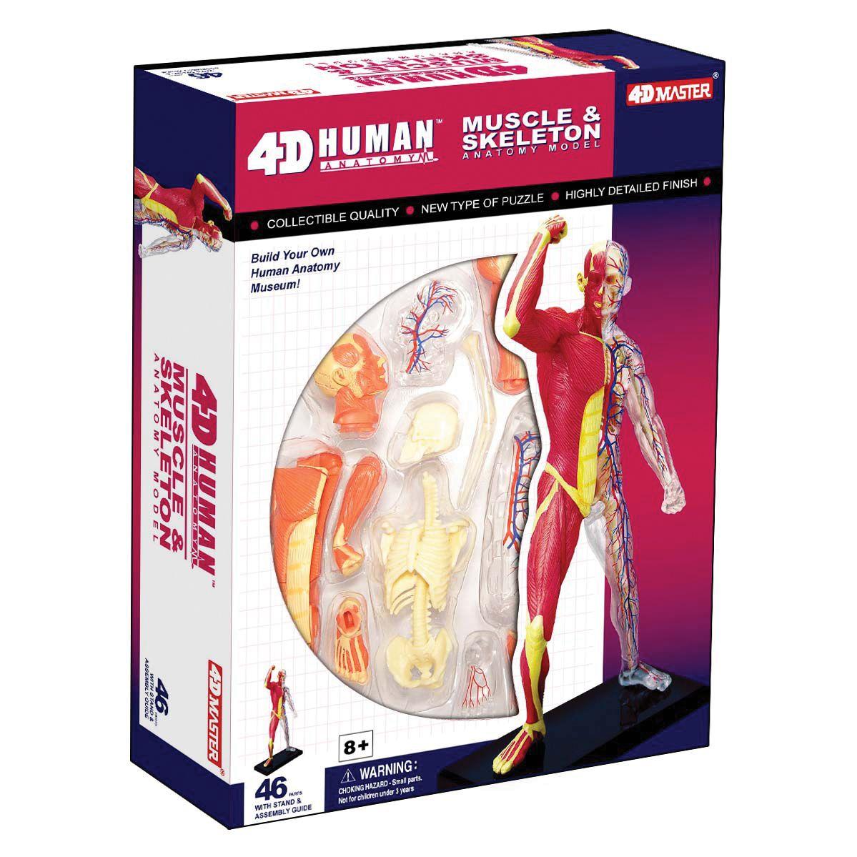 4d Human Anatomy Muscle Skeleton Model In 2020 Human Anatomy