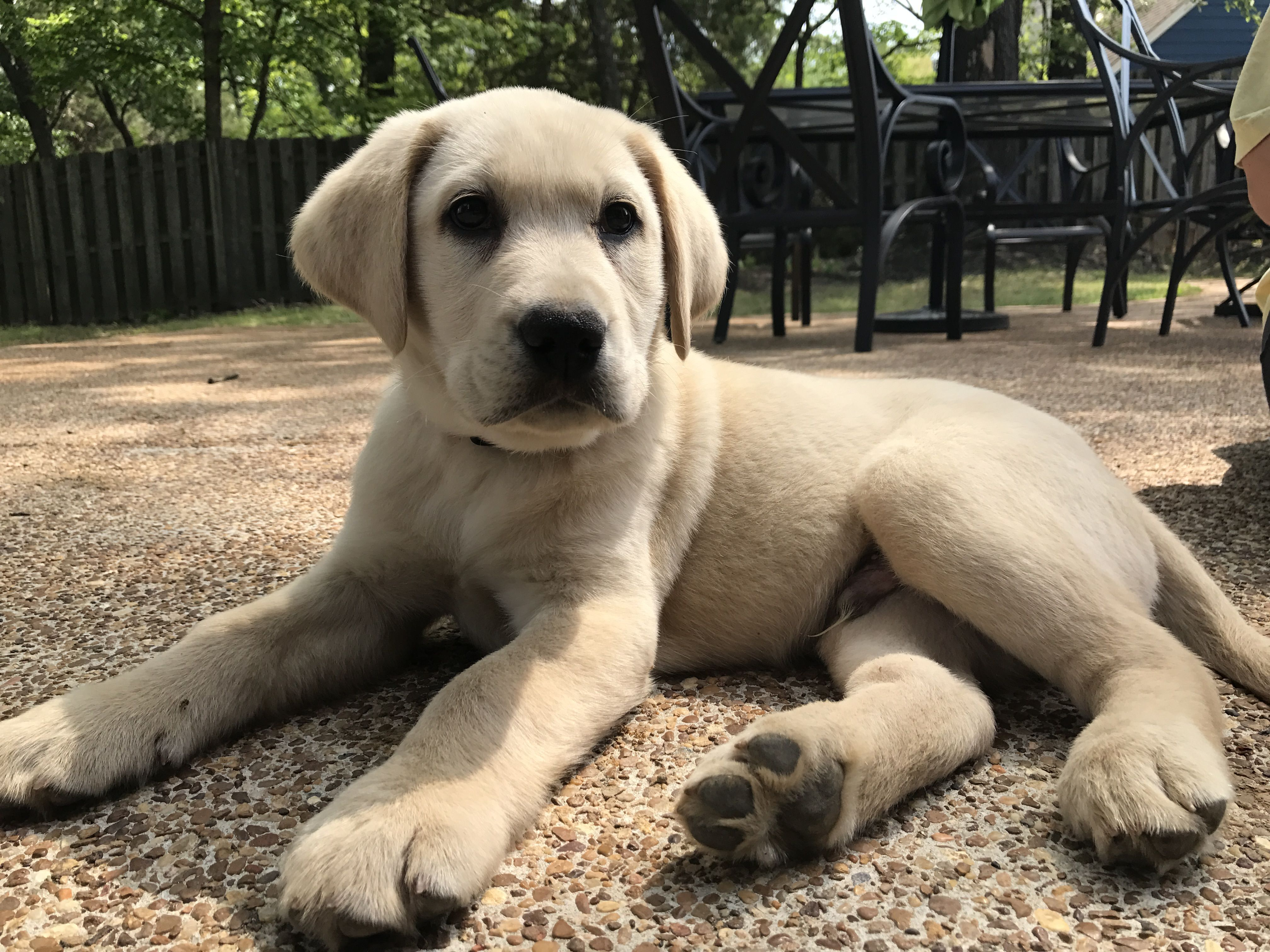 Labrador Bambini ~ 1589 best retrievers images on pinterest adorable animals baby
