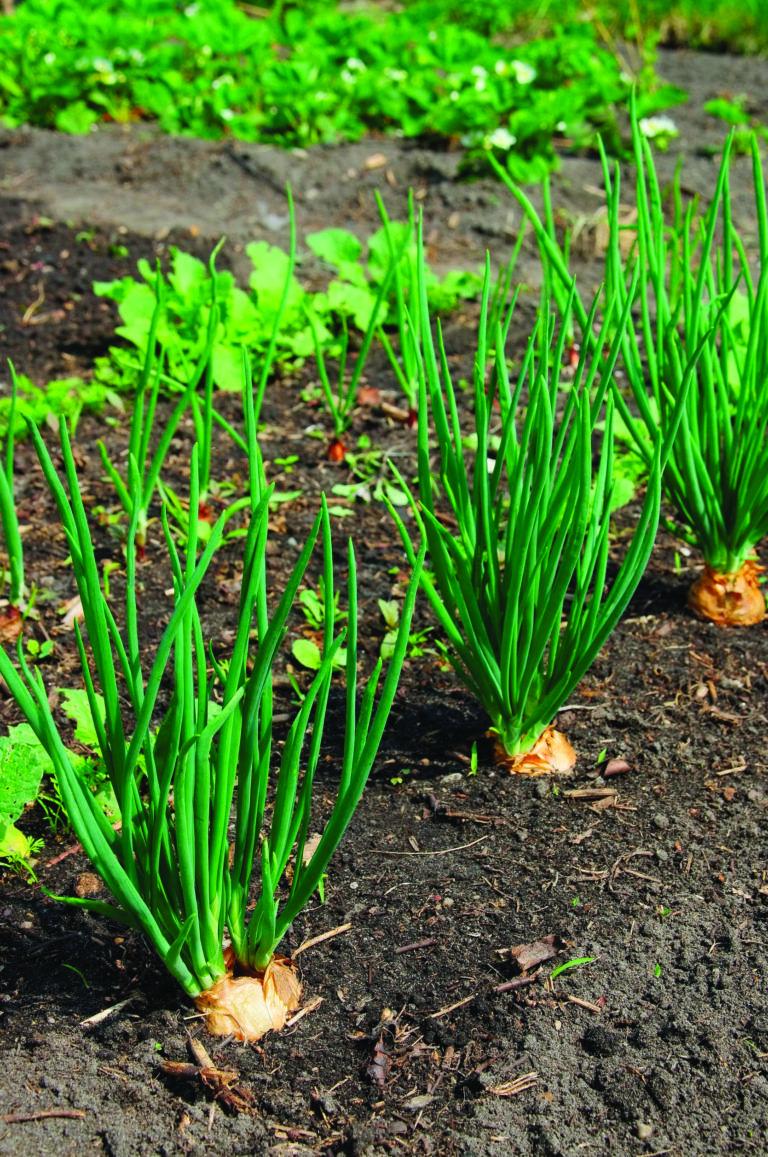 Comment Planter De L Échalote pin af annie chitamba på house plans i 2020