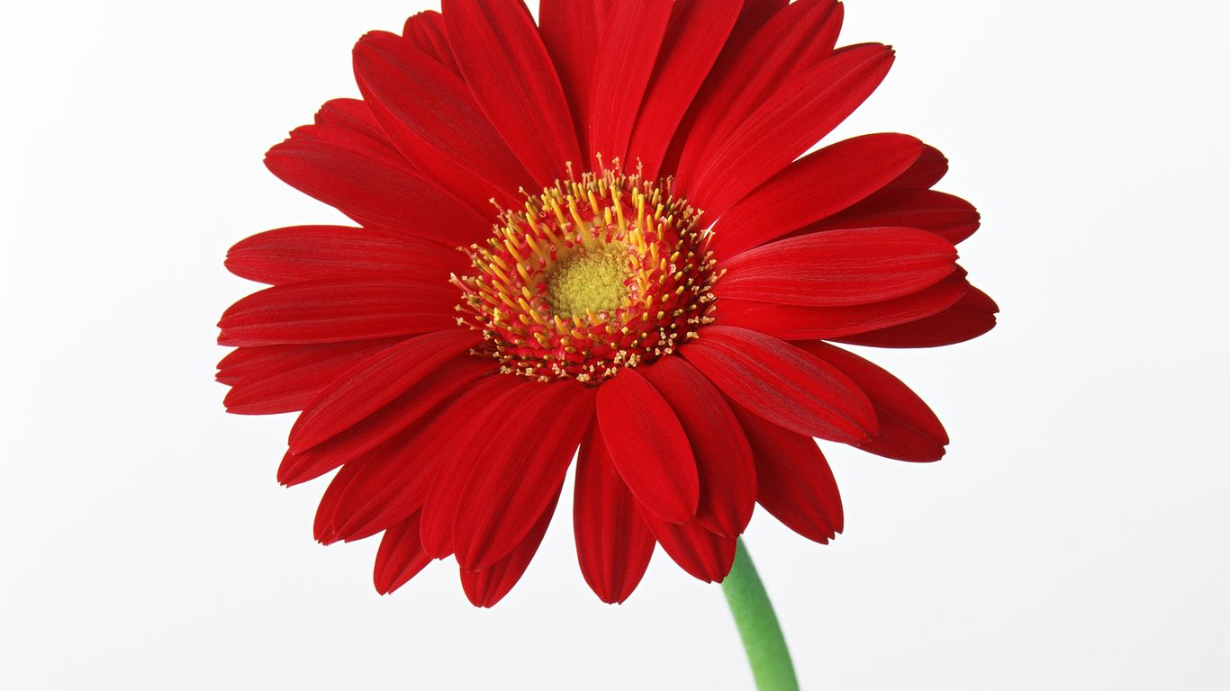 red daisy flower hd - photo #1