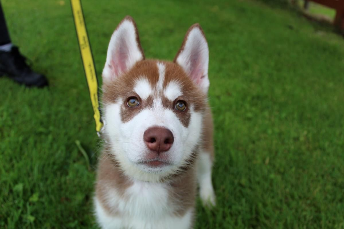 Pin by rescue pets on dogs huskies malamutes in rescue