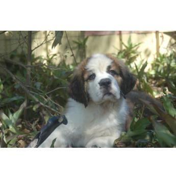Cutest St Bernard Pup St Bernard Pedigree Dog Cavalier King