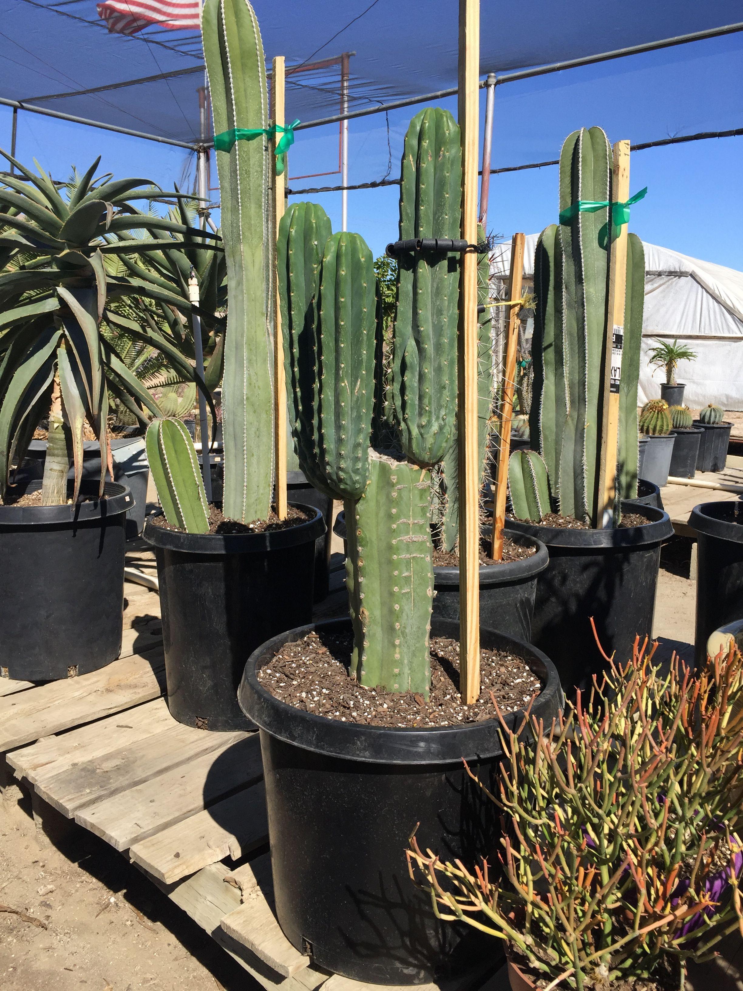 Our Cactus Plants Cacti