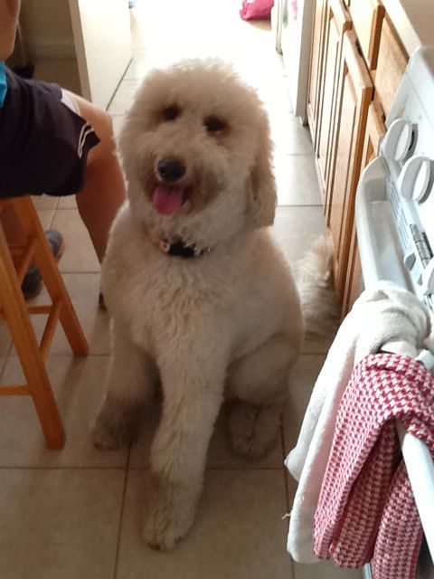 Our 2 year old golden doodle  | Pets | Goldendoodle, Dogs, Pets