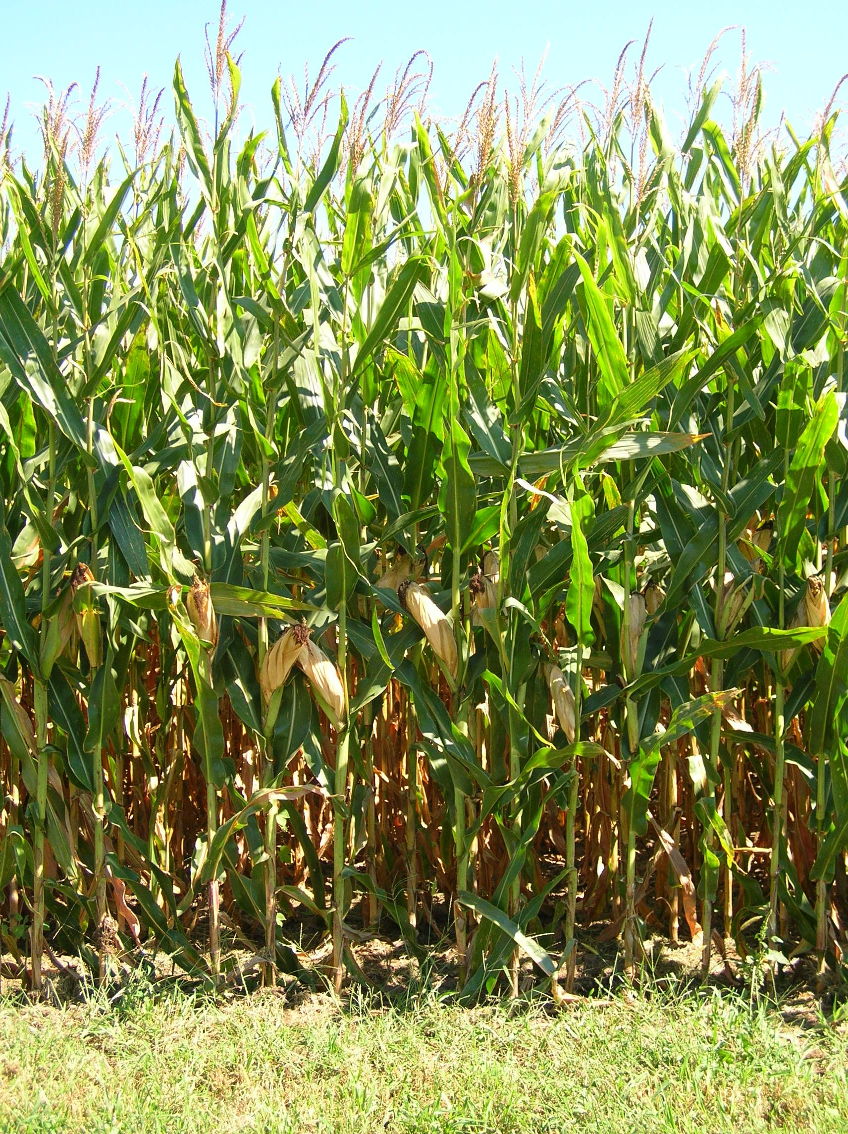 Field corn and sweet corn, What is the difference