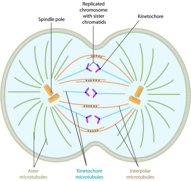 A schematic shows a dividing cell. The middle of the cell is slightly indented; it is pinching apart to form two separate, daughter cells. The chromosomes and important parts of the spindle apparatus are labeled.